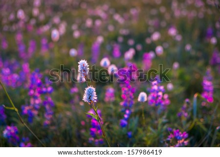 Mountain wildflowers in Oregon, backlit by sunset - stock photo