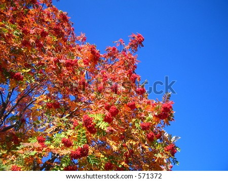 Mountainash in the sky
