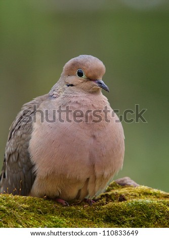 Mourning Dove, a.k.a. Turtle Dove portrait, perched on moss covered log with a nicely blurred green background, taken by a bird feeder in suburban Philadelphia, Pennsylvania, USA - stock photo