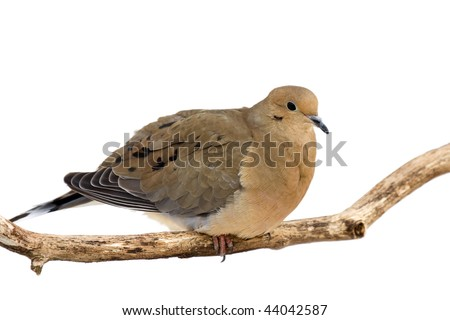 mourning dove cautiously overlooks its surroundings while perched on a branch; white background