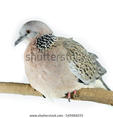 Mourning Dove on a white background - stock photo