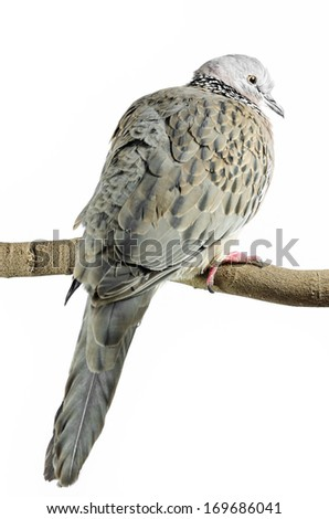 Mourning Dove on a white background