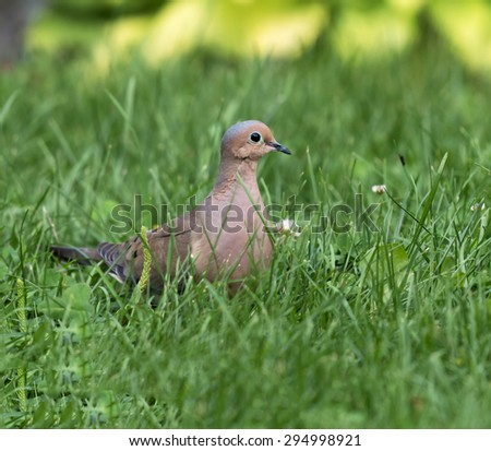 Mourning Dove on Grass - stock photo
