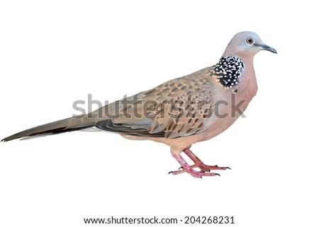 mourning dove on white background  - stock photo