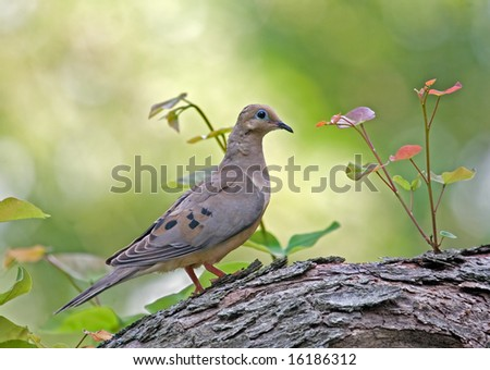 Mourning dove perched on a tree - stock photo
