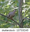 Mourning dove perched on a tree branch - stock photo