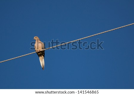 Mourning Dove Perched on Cable with Crisp Blue Sky Background - stock photo