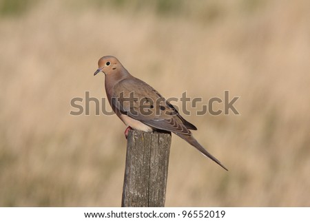Mourning Dove perched on fence post - stock photo