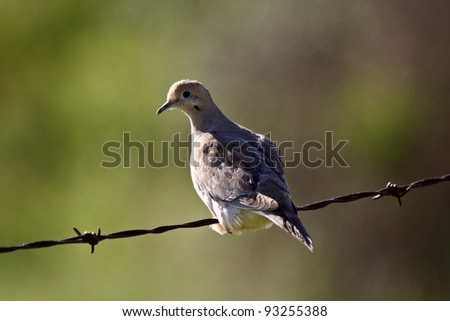 Mourning Dove perched on wire - stock photo