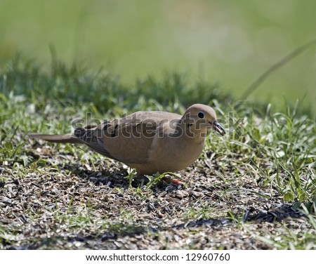 Mourning dove with a seed in its beak - stock photo