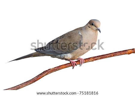 mourning dove with a suspicious expression perched on a branch, white background - stock photo