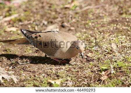 "Mourning dove ""Zenaida macroura carolinensis"" looking for food - stock photo"