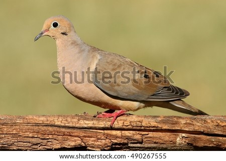 Mourning Dove (Zenaida macroura) on a log with a green background