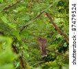 Mourning dove (Zenaida Macroura) sitting on a evergreen tree branch, Antigua (Caribbean) - stock photo