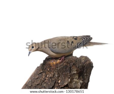 Mourning Dove (zenaida macroura)  watching with dismay - stock photo
