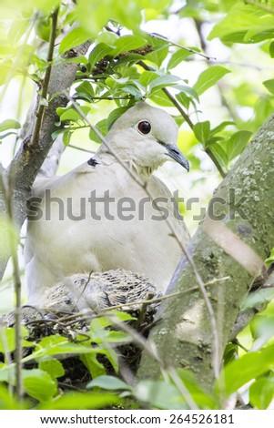 Mourning Dove (Zenaida macroura) with babies on tree branch  - stock photo
