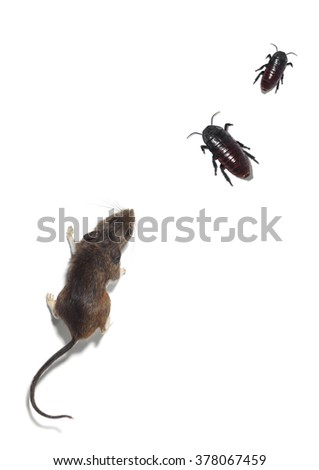 Mouse and Two Madagascar Hissing Cockroaches on a White Background
