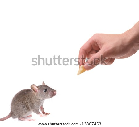 Mouse being lured with a piece of cheese isolated on white - stock photo