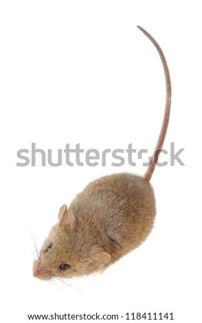 mouse closeup isolated on a white background - stock photo