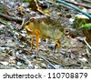Mouse Deer - stock photo