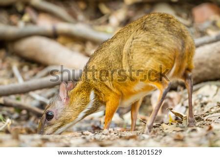 Mouse deer(Tragulus javanicus) come to drink water in Kengkrajarn National park,Thailand  - stock photo