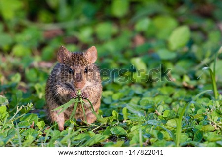 Mouse eating grass - stock photo