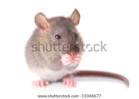 Mouse isolated against white background - stock photo