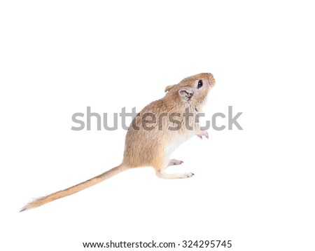 mouse looking up isolated on a white background - stock photo