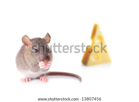 Mouse nibbling some cheese isolated on white - stock photo