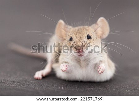 Mouse on a black background - stock photo