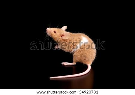 mouse on black background - stock photo