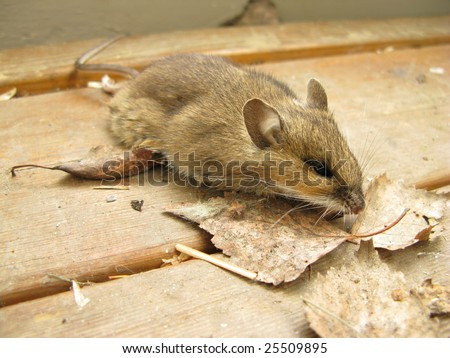 Mouse on porch - stock photo