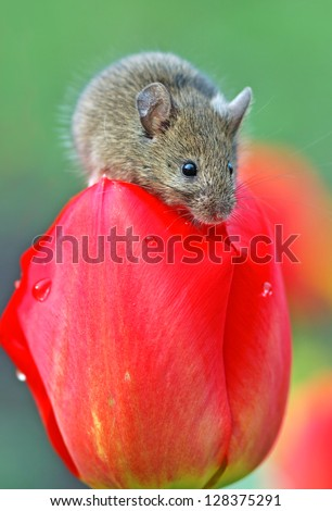 Mouse on tulip basking in the sun - stock photo
