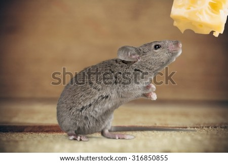 Mouse Risk. - stock photo