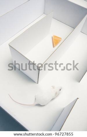 mouse running inside a maze looking for cheese - stock photo