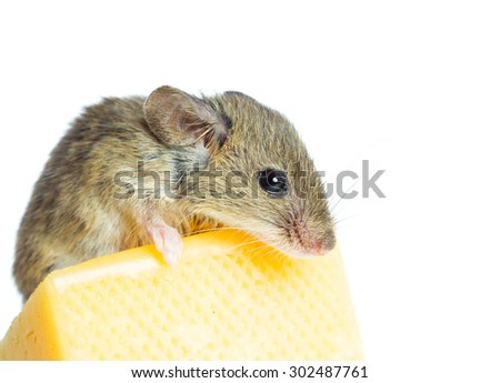 Mouse with a  cheese isolated on white - stock photo