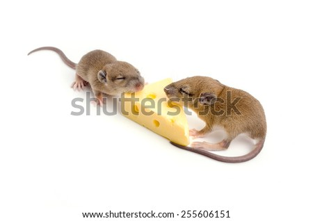 Mouse with a slice of swiss cheese on white background.