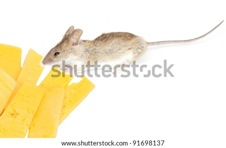 Mouse with cheese on white background - stock photo
