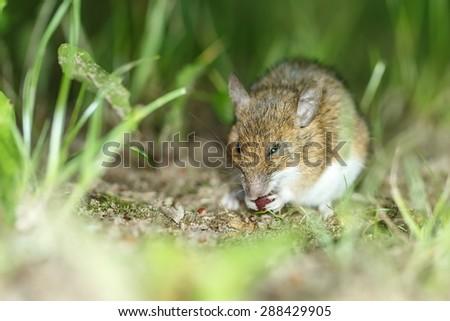 mousein the grass - stock photo
