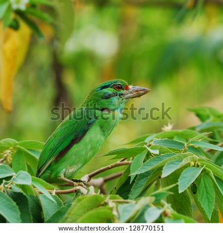 Moustached Barbet (Megalaima incognita) - stock photo