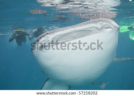 Mouth of a giant whale shark - stock photo