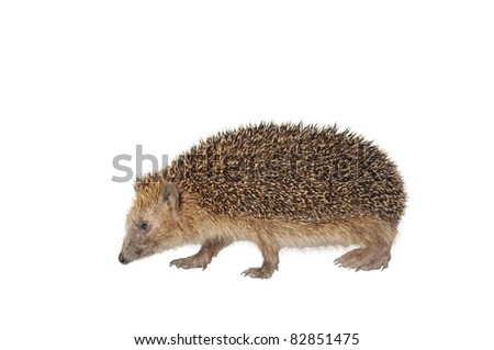 moving hedgehog on white background - stock photo