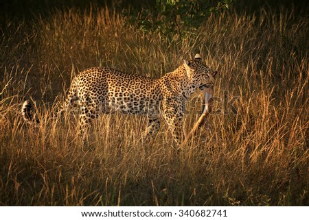 Moving leopard with prey in the morning sun, grass and colorful background savanna - stock photo