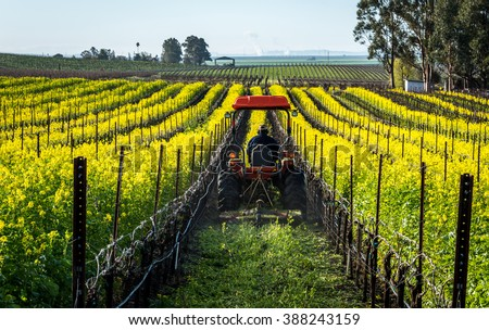 Mowing mustard flower in a vineyard - stock photo