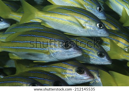 Mozambique, Indian Ocean, school of bluestripe snappers (Lutjanus kasmira), close-up