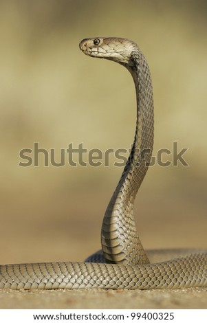 Mozambique Spitting Cobra (Naja mossambica) hooded and alert, Soouth Africa - stock photo