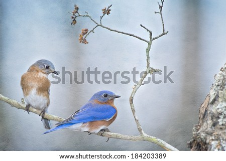 Mr. and Mrs. Bluebird in Early Spring - stock photo