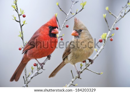Mr. and Mrs. Cardinal on Berry Branches - stock photo