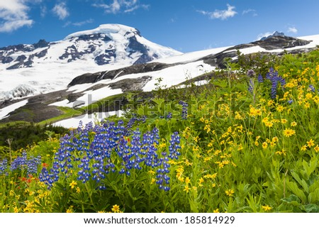 Mt. Baker Wildflowers. Beautiful wildflowers such as yellow asters, purple lupine, and Indian paintbrush, dominate the landscape on the Heliotrope Ridge hike near the peak of Mt. Baker, Washington.