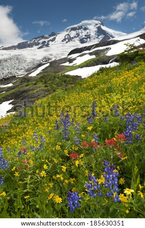 Mt. Baker Wildflowers. Wildflowers are in full summer bloom in the month of August on the trails of Mt. Baker, Washington. Lupine, Indian Paintbrush, and Yellow Asters are most predominate.